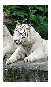 White Tiger - Singapore Zoo | Wildlife Reserves Singapore