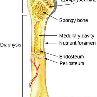 Simple Bone Diagram by 1 Gross Anatomy Of A Bone Taken From Http