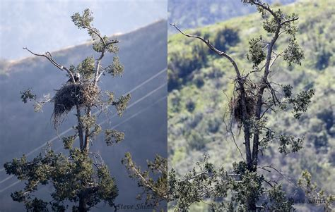 nest of lone bald eagle pair in la county collapses
