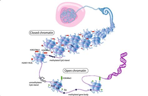 Diagram Of Chromatin by Epigenetic Regulation Of Chromatin Structure The Majority