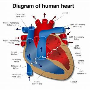 Heart Disease  Definition  Causes  Research