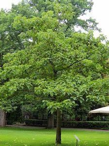 Petit Arbre Persistant : arbre de petite taille feuillage persistant salon ~ Melissatoandfro.com Idées de Décoration