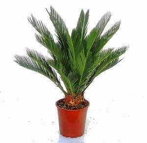Zimmerpflanzen Die Direkte Sonne Vertragen : cycas revoluta palmfarn zimmerpflanzen kaufen herausragende qualit t harro 39 s pflanzenwelt ~ Markanthonyermac.com Haus und Dekorationen