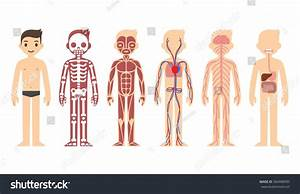 Body Anatomy Chart  Skeletal  Muscular  Circulatory  Nervous And Digestive Systems  Flat Cartoon
