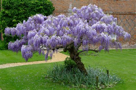 growing wisteria wisteria on pinterest longwood gardens mediterranean garden and bonsai