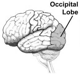 Brain Occipital Lobe