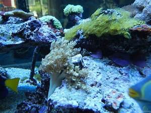 Aquarium Einrichten Anfänger : einrichtungsbeispiele f r aquarien mit weichkorallen ~ Lizthompson.info Haus und Dekorationen