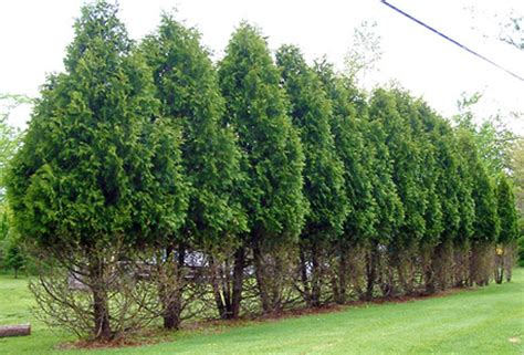 northern white cedar arboriculture