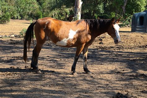 asia horses paint tri mare gender colored habitat