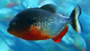1000+ images about Piranha on Pinterest | The story, A cow ...