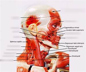 Head And Neck Muscles Diagram