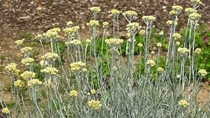Pflanzenlexikon Mit Bild : currykraut pflanzen pflegen ernten und trocknen tipps ~ Orissabook.com Haus und Dekorationen