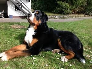 Berner Sennenhund Gewicht : berner sennenhund mix mischling und hybride ~ Markanthonyermac.com Haus und Dekorationen