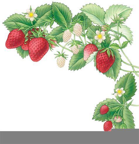 strawberry vine clipart  images  clkercom