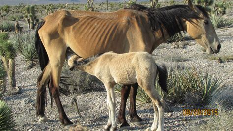 blm releases wild horse  burro sustainability report nacd