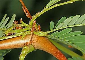 Acacia Tree Uses Ants As Body Guards And Rewards Them With