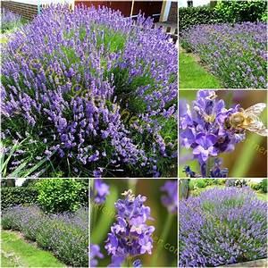 Echter Lavendel Kaufen : echter lavendel f r kr uter der provence 120 samen kaufen auss en ~ Eleganceandgraceweddings.com Haus und Dekorationen