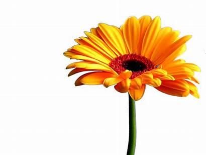 Daisy Gerbera Clipart Daisies Bulaklak Transparent Orange