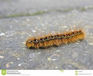 Fuzzy Caterpillar On The Road Stock Photo - Image: 31430900