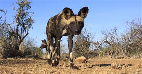 african wild dogs vote  sneezing mnn mother nature