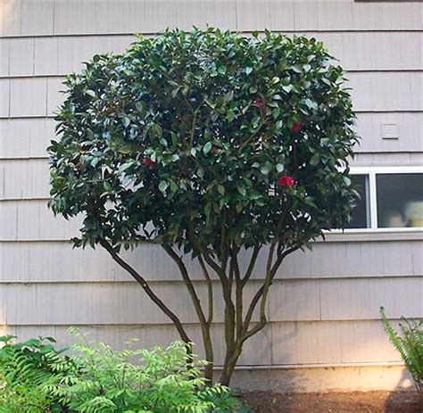 how to prune camellia tree types of camellia trees bing images