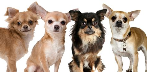 wanted    chihuahuas
