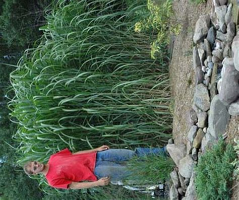 Green Value Nursery :: Perennials :: Ornamental Grasses