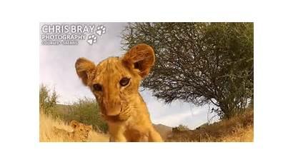 Lion Cub Knock Camera Adorable Hi Gopro