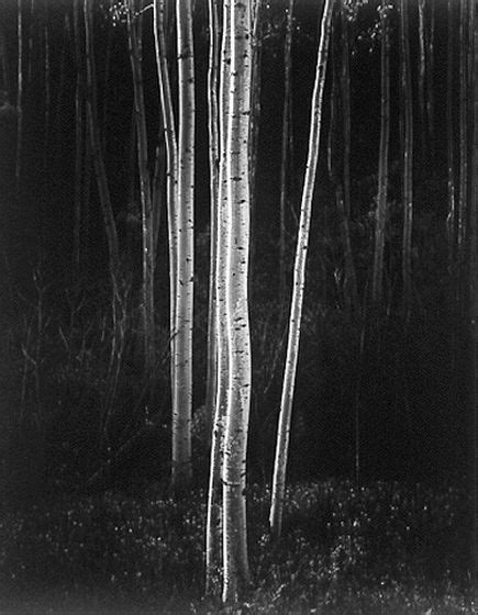 ansel adams birch trees google search art  concept