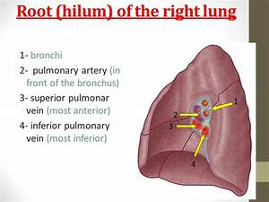 Lungs Dr  Hassan Shaibah