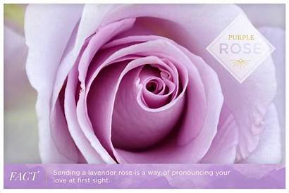 Rose Purple Roses Meanings Royalty Meaning Ftd