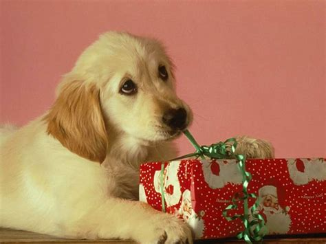 when do puppies open there cute christmas animals wuvely