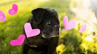 Pug Puppy Dog Dogs Wallpapers Animals Hearts