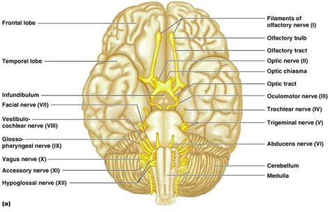 toosogie cranial nerves i v