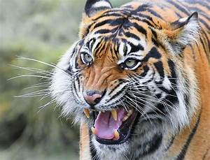 Tiger Growl Photograph by Athena Mckinzie