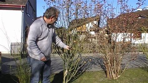 hibiskus im winter wie schneide ich einen gartenhibiskus