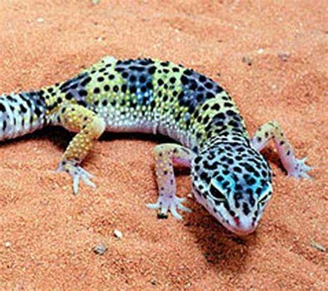 leopard gecko colors leopard gecko creation kingdom zoo