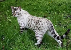 Albino Snow Leopard Cat