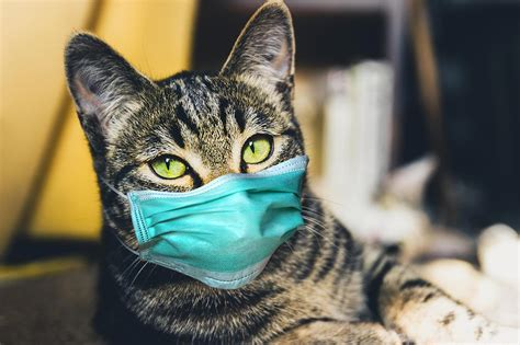Cats Can Spread COVID-19 Coronavirus Infection to Other Cats