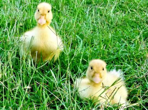 raising ducks   care  ducklings hgtv