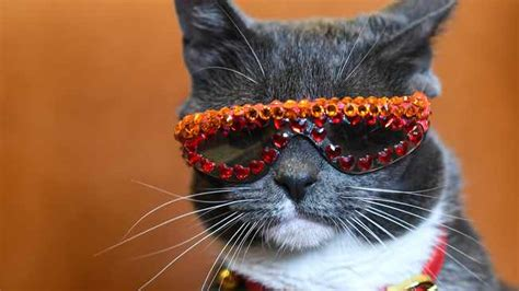 Instagram-famous cat Bagel owns 600 pairs of sunglasses