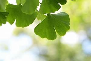 Baum Pflanzen Anleitung : ginkgobaum ginkgo biloba im garten steckbrief pflege anleitung ~ Frokenaadalensverden.com Haus und Dekorationen