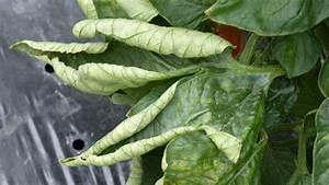 Tomaten Blätter Gelb : tomatenkrankheiten freude am garten ~ Frokenaadalensverden.com Haus und Dekorationen