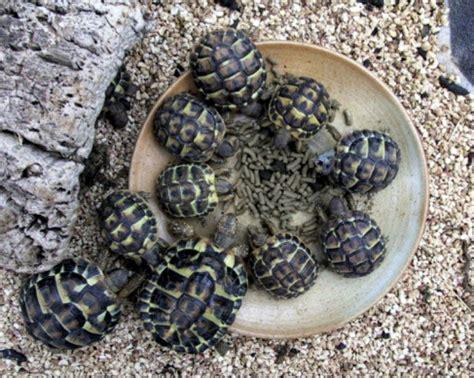 le pour tortue hermann plan de sauvegarde de la tortue d hermann dans le var les nouvelles sont bonnes page 3 of 3