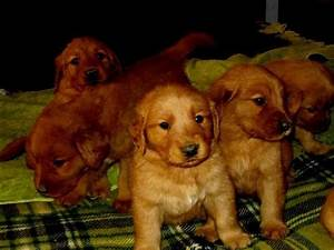 Dark Golden Retriever Puppies Brown Hair Color Pictures