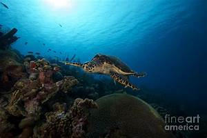 The Hawksbill Sea Turtle, Bonaire Photograph by Terry Moore