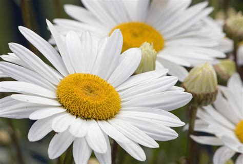 daisies flowers daisy flowers white free stock photo public domain pictures