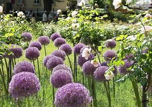 Begleitpflanzen Für Rosen : blau bl hende rosenbegleitstauden ~ Lizthompson.info Haus und Dekorationen