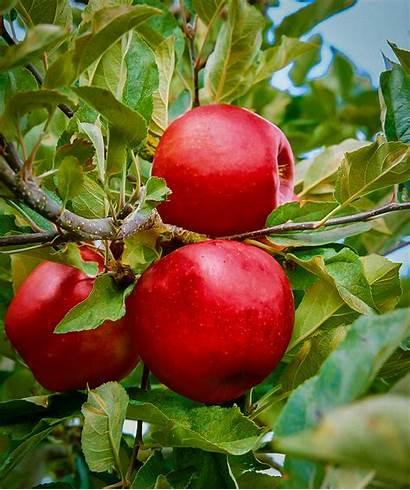 Apple Empire Tree Trees Plant Zones Hardiness