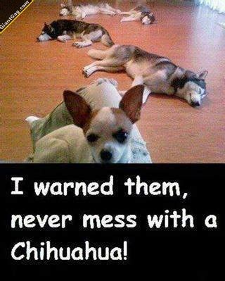 hotdog chihuahua page  funny dog pictures